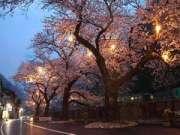 あつみ温泉河川に咲く 夜桜