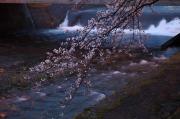 河川に咲く桜