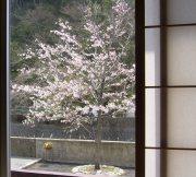 エドヒガン桜2