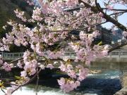 エドヒガン桜 葉月橋付近