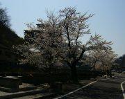 満開  エドヒガン桜