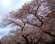 玄関前 桜1