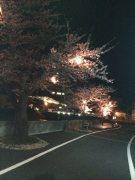 夜桜ライトUP