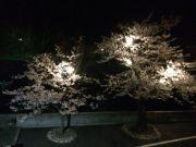 夜桜ライトUP1
