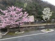 当館からめる桜
